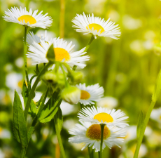 Chamomile German (Plant Oil)