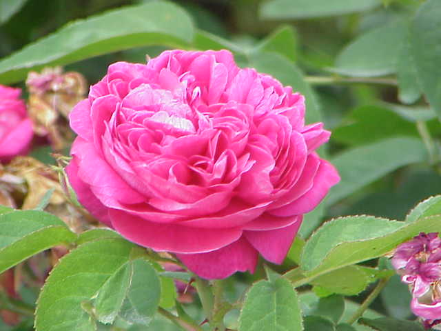 Natural Rose oil which is naturally extracted from Rosa Damascena