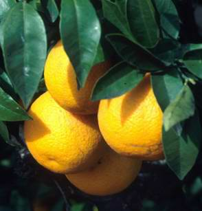 Natural Orange Sweet Oil which is naturally extracted from Citrus sinensis